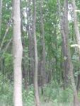 the birch, symbol of Russia