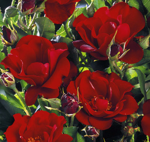 michel strogoff rose
