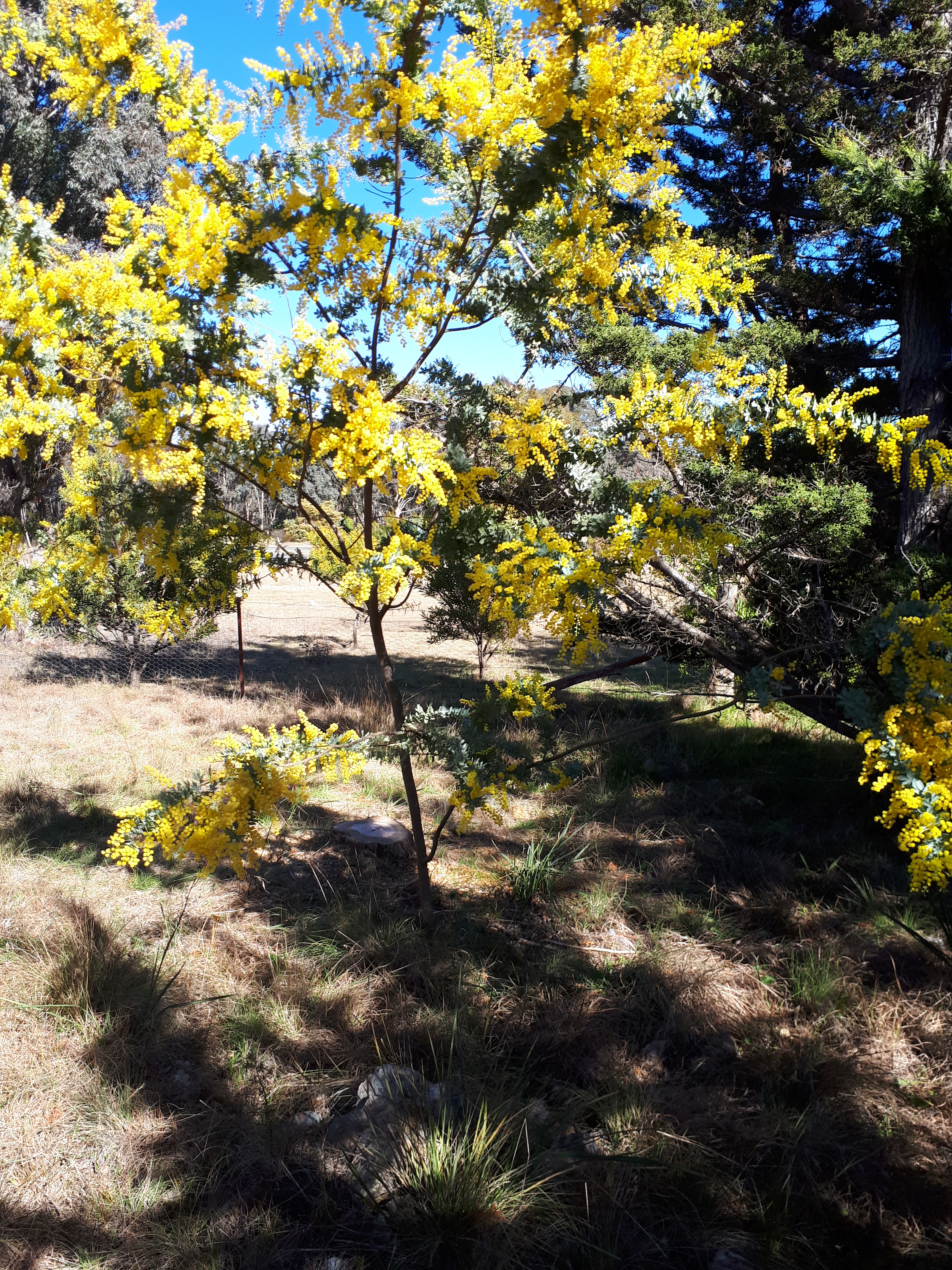 A Poem To Celebrate An Exceptional Wattle Season Feathers Of The